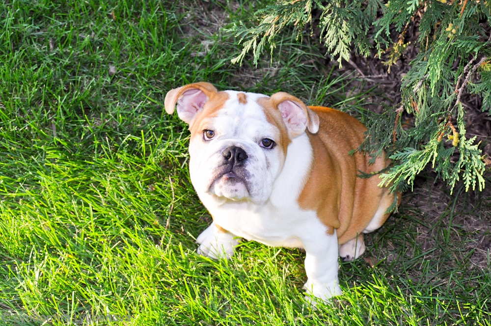 cute-english-bulldog-buppy-16weeks-caesar